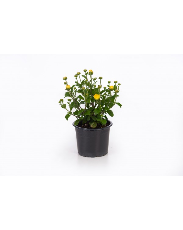 Chrysanthemum pot. 9