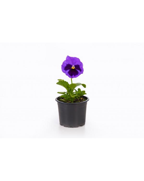 Viola pot.9
