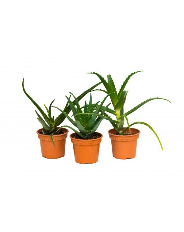 Aloe Vera pot.12