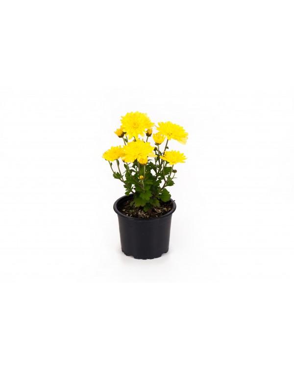 Chrysanthemum pot. 9