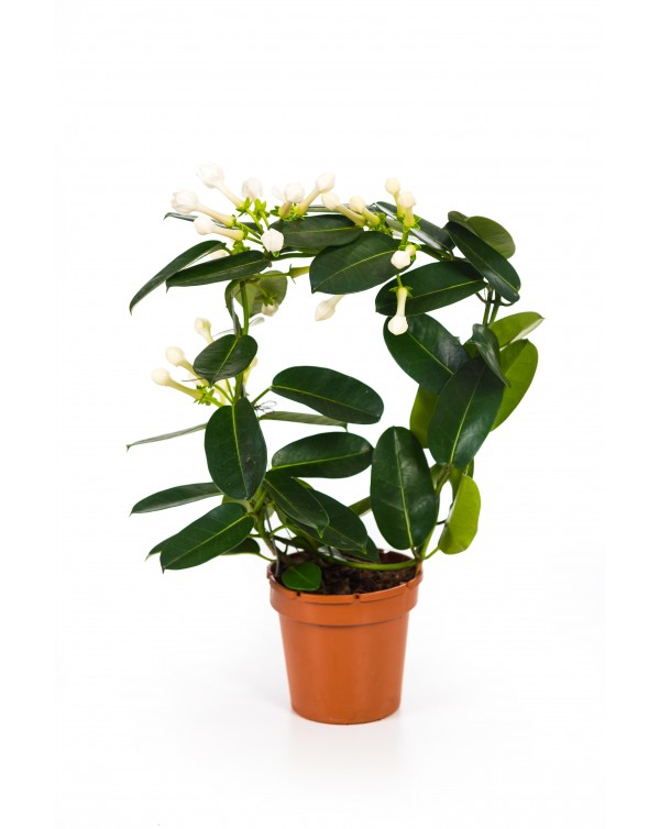 Stephanotis pot.12