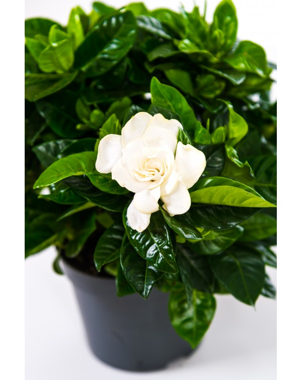 Gardenia pot.13