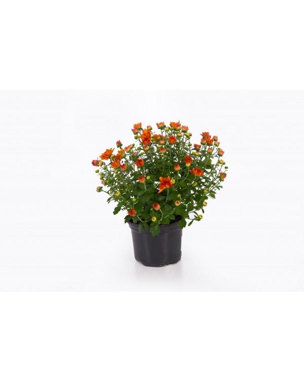 Chrysanthemum pot. 12