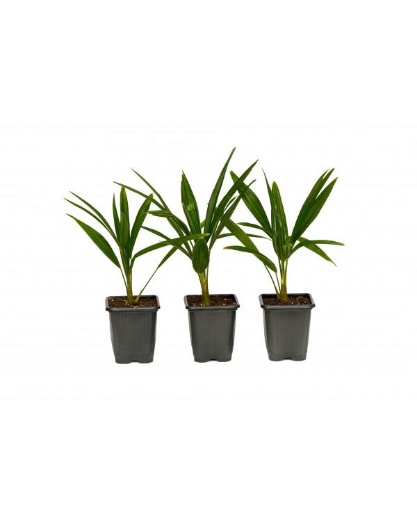 Palm Trachycarpus 0.8l.