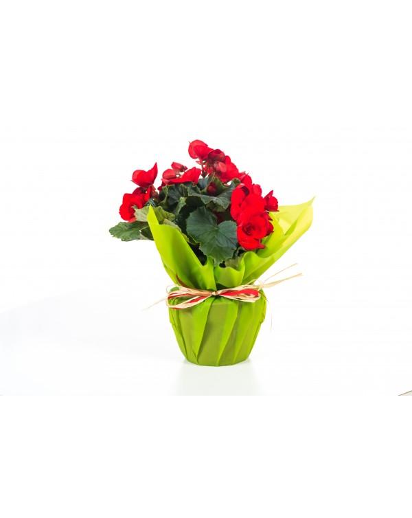 Begonia Elation pot. 12