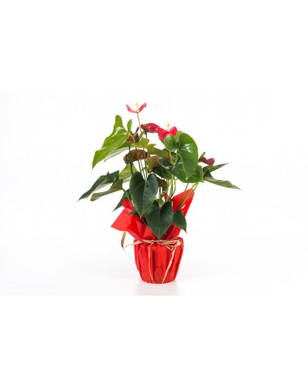 Anthurium gemengd 5 bl. pot.14
