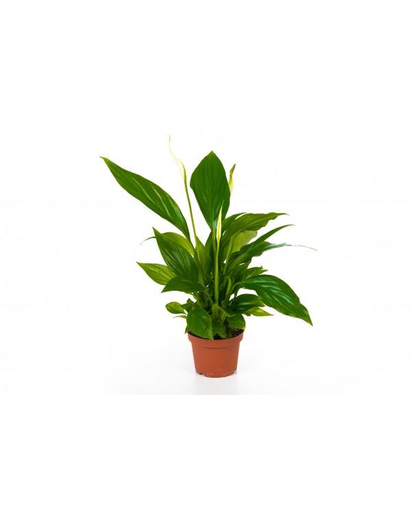 Spathiphyllum pot.9