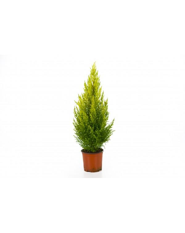 Cupressus pot.12