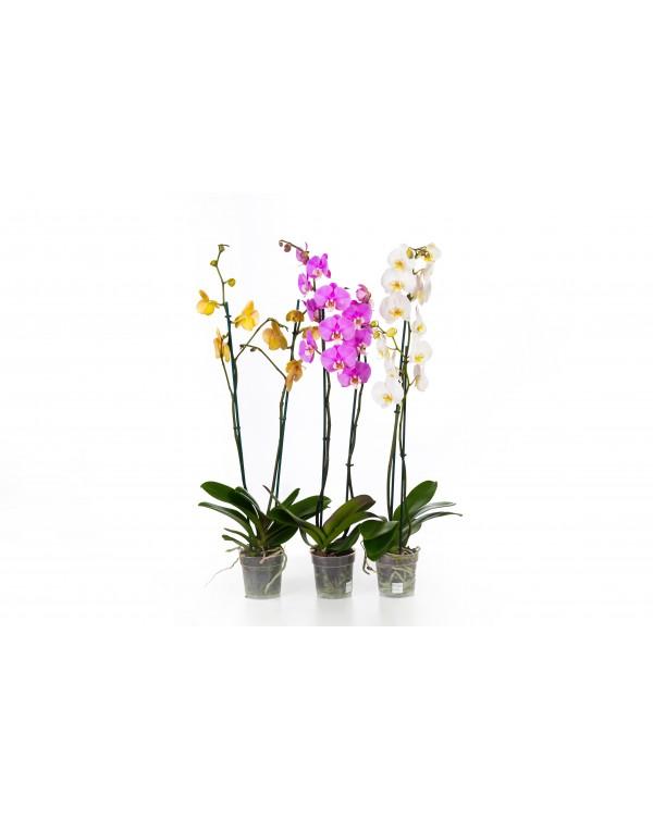 Орхидея Ф12