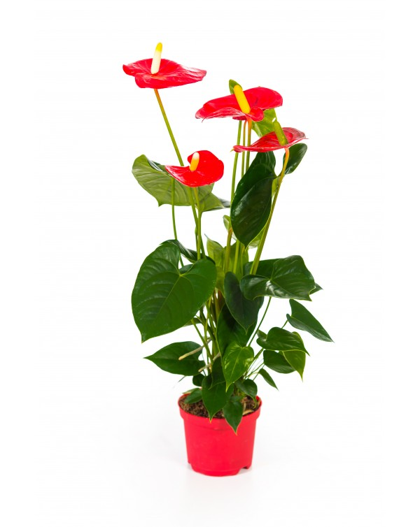 Anthurium pot.14