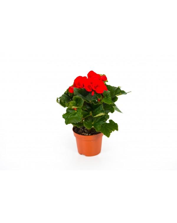 Begonia Volcano pot.12
