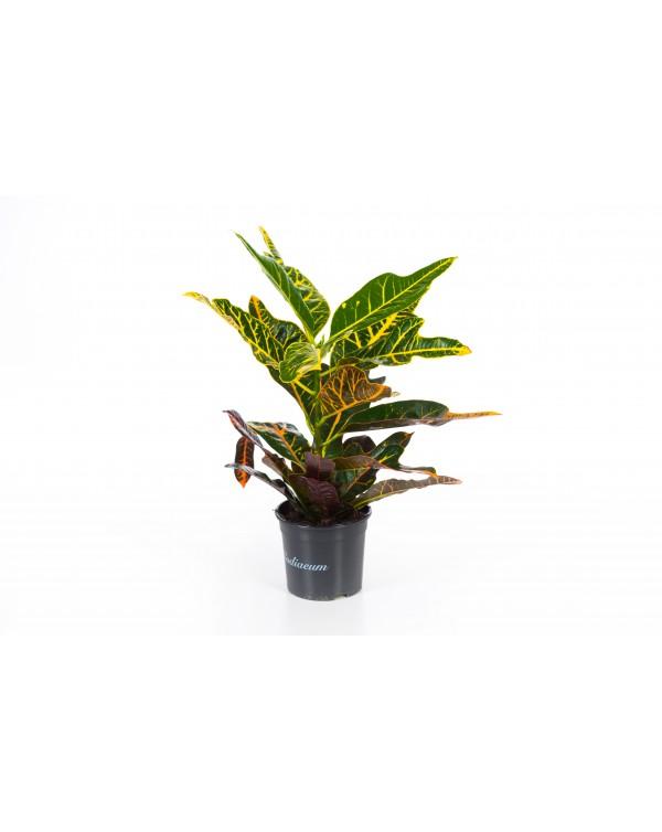 Codiaeum variegatum pot.13
