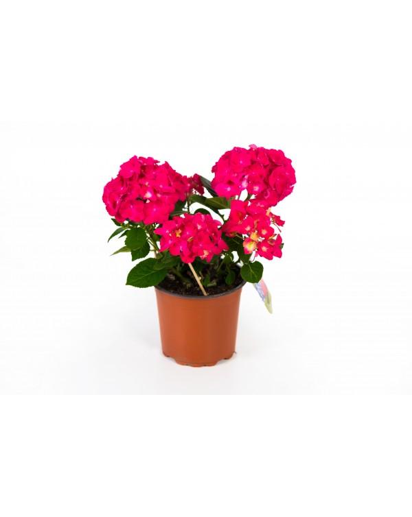 Hydrangea hortensis pot.15