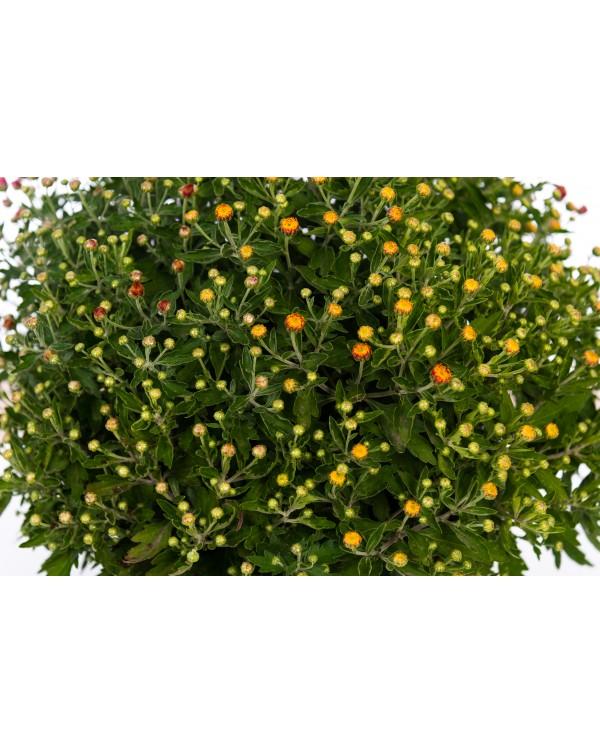 Chrysanthemum pot. 25