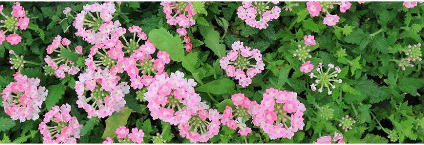 Annual plants