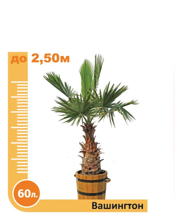 Washingtonia Palm 60l.