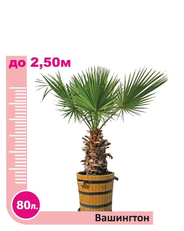Washingtonia Palm 80l.
