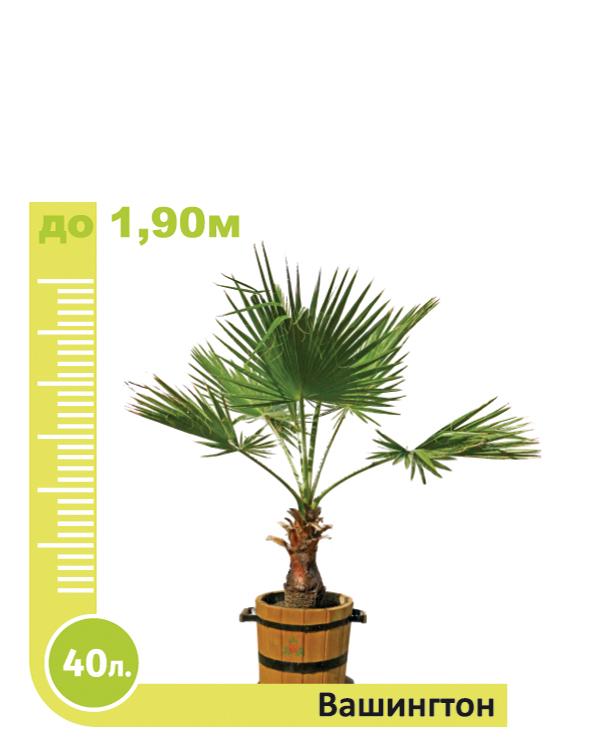 Washingtonia Palm 40l.