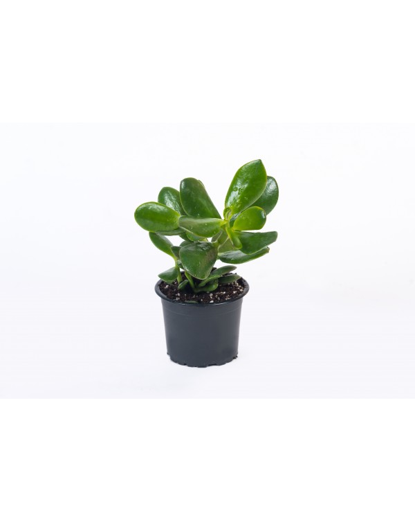 Crassula pot.9