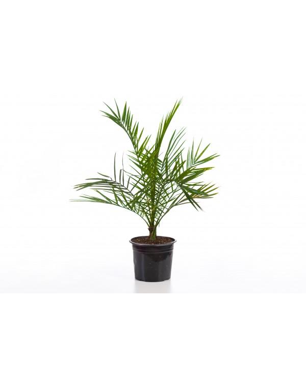 Финикова палма 2л.