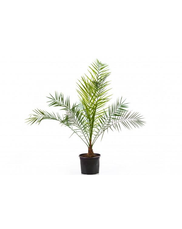 Phoenix palm 5l.