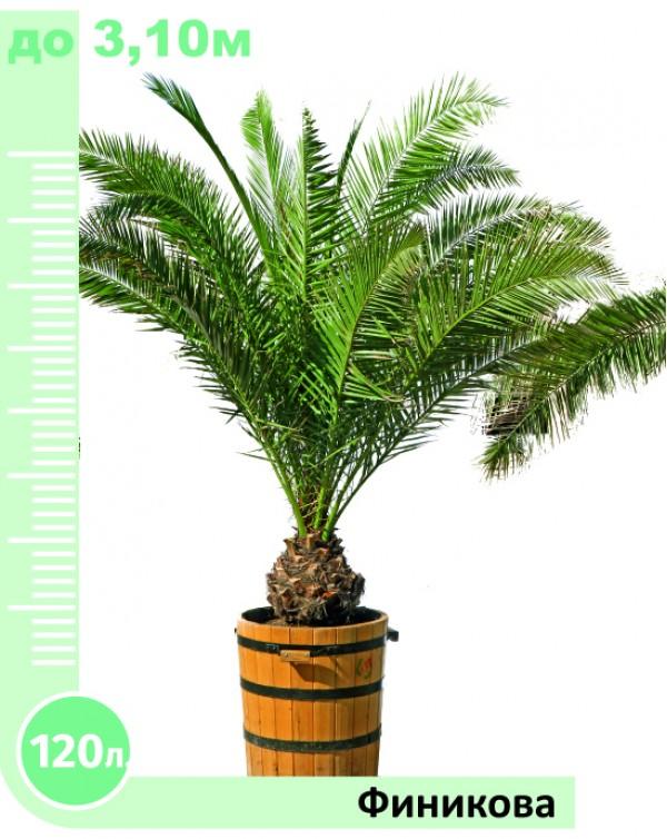Phoenix palm 120l.