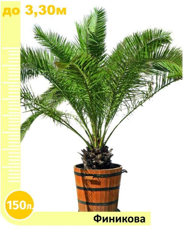 Phoenix palm 150l.