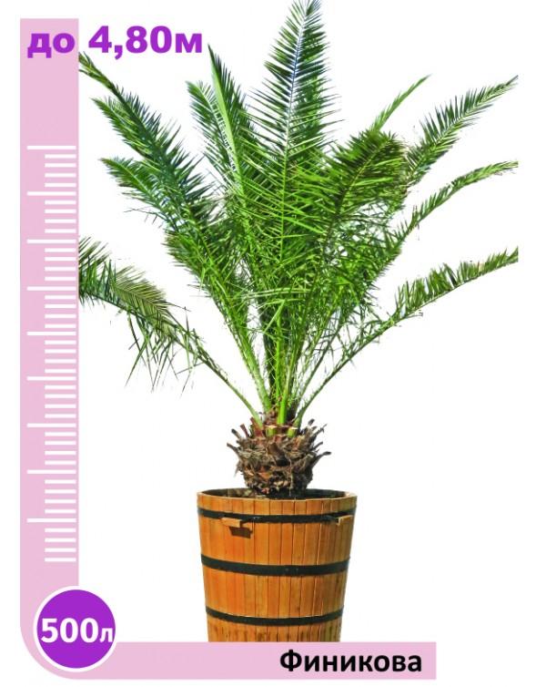 Phoenix palm 500l.