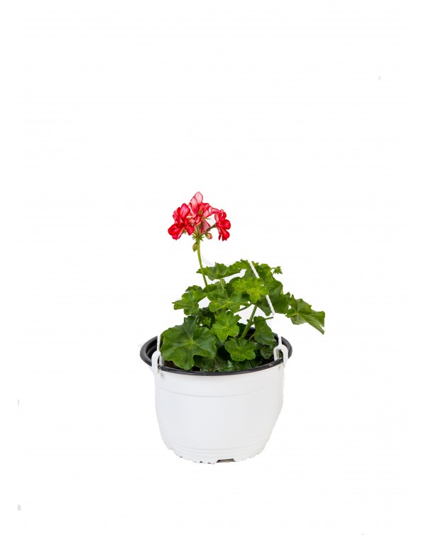 Pelargonium Peltatum pot.19 - hanging basket