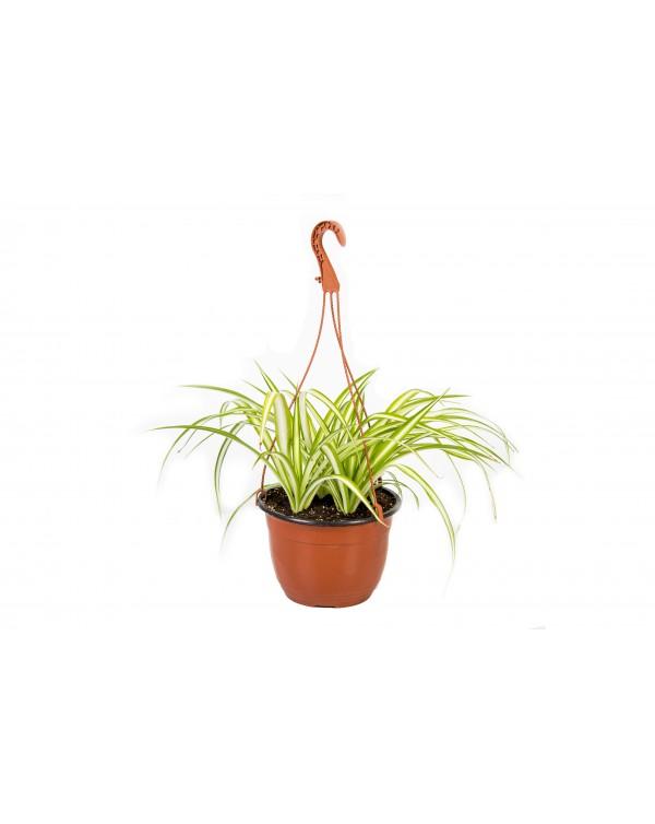 Chlorophytum pot.19 - hanging basket