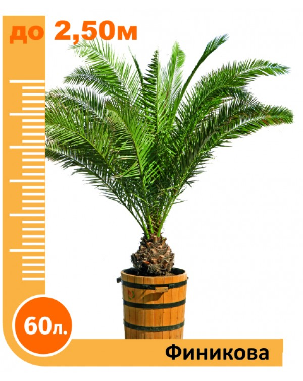 Phoenix palm 60l.