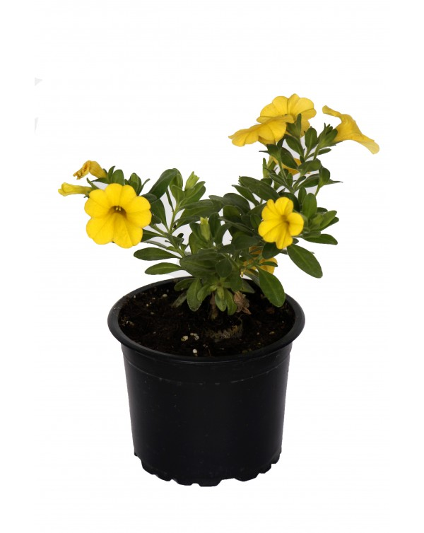 Calibrachoa pot.9