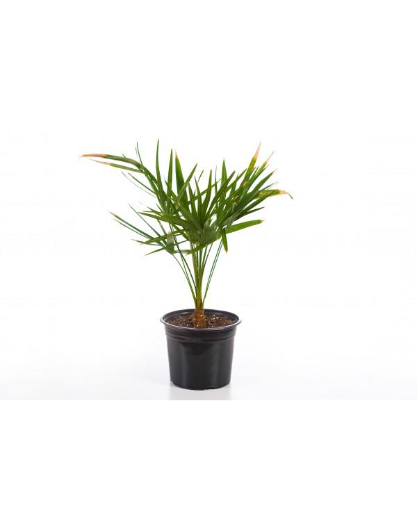 Chamaerops humilis palm 5l.