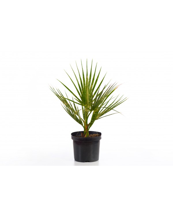 Washingtonia Palm 5l.