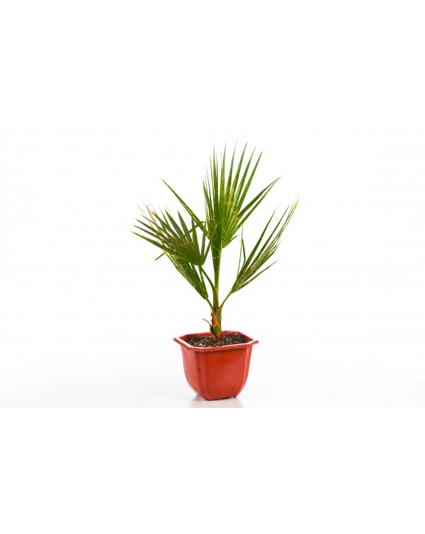 Washingtonia Palm 2l.