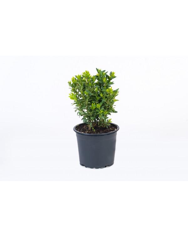 Buxus pot.9