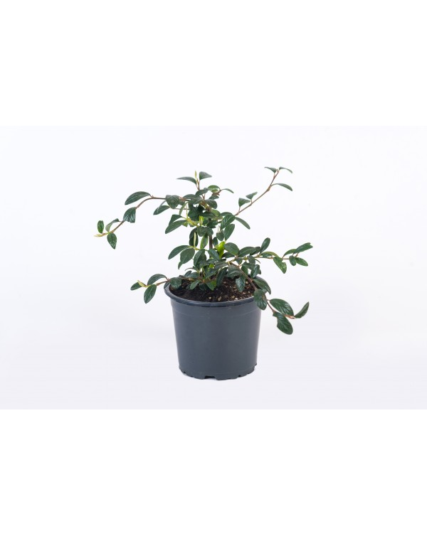 Cotoneaster pot.9
