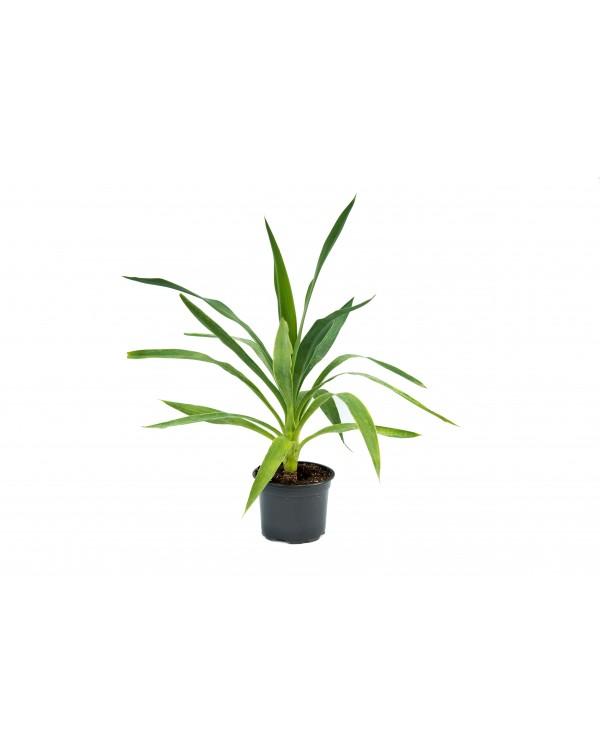 Yucca pot.14