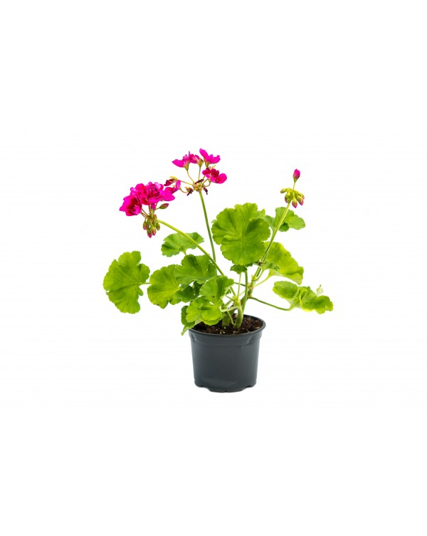 Pelargonium Calliope pot.9