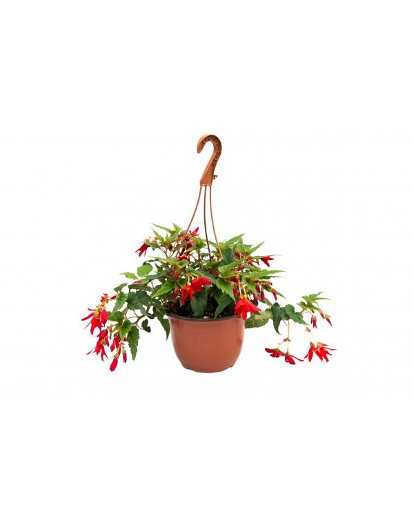 Begonia pot.19 - hanging basket