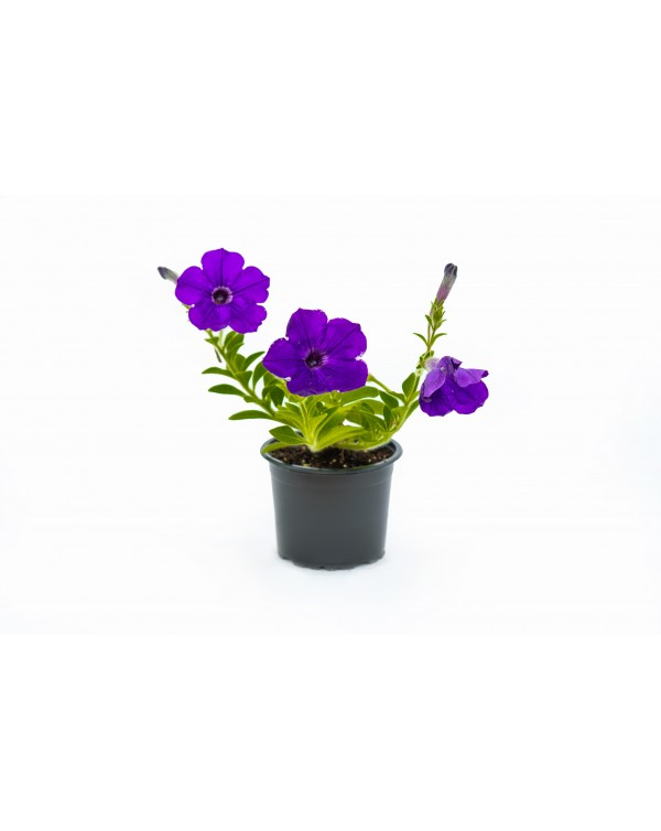 Petunia -Surfinia pot.9