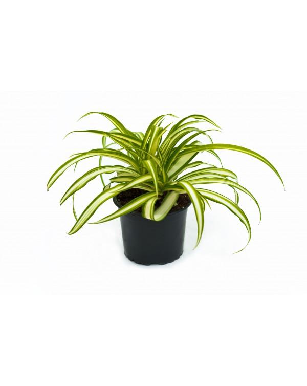Chlorophytum pot.9