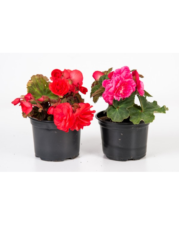 Begonia Tuberhybrida pot.9