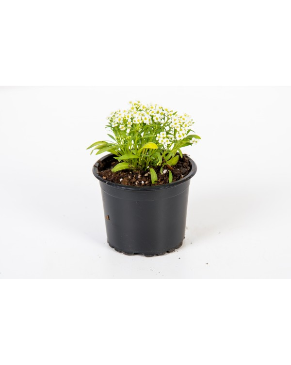 Alyssum pot.9